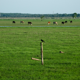 St Johns River Basin by David Ubach - Landscapes Prairies, Meadows & Fields ( field, bird, pasture, st johns river, cows )