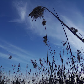 Tall Against The Sky by Tamara Tyler - Nature Up Close Leaves & Grasses ( grasses, clouds, sky, blue, wetland, tall )