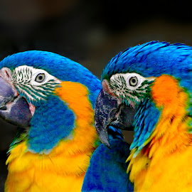 Two Parrots by Zvi Greenwald - Animals Birds ( animals, colorful, parrots, wildlife, birds,  )