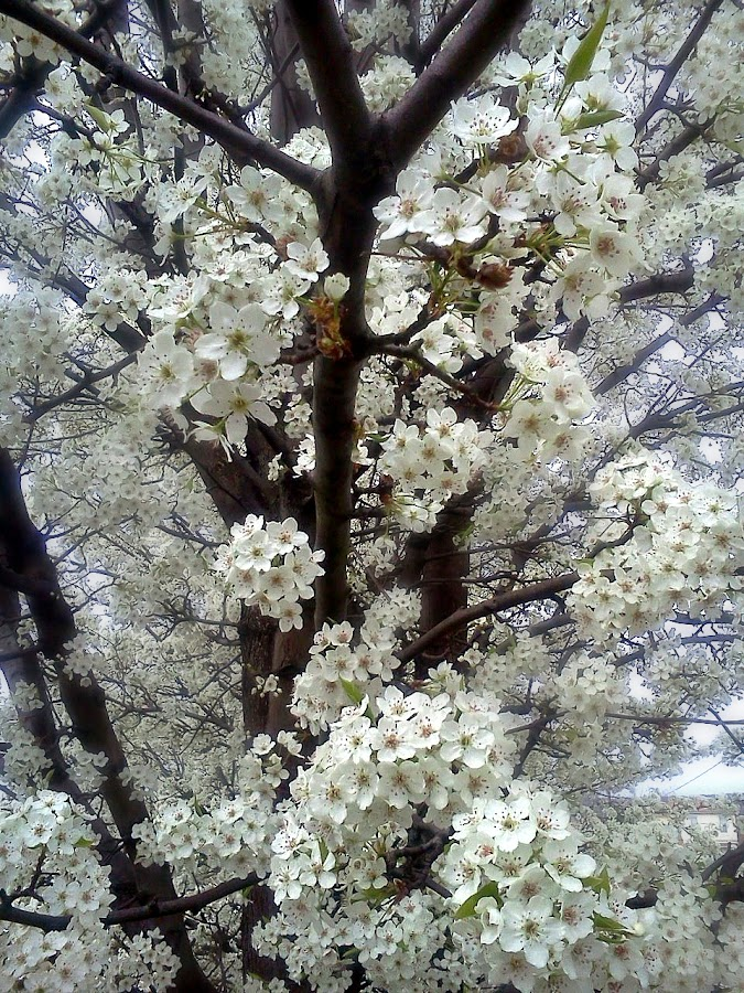 Spring Snow by Elaine Tweedy - Nature Up Close Flowers - 2011-2013 ( blossoms )