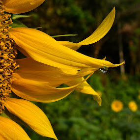 A drop of water... by Prasant Kumar - Nature Up Close Flowers - 2011-2013 ( nature, green, sun flower, trees, yellow, flower, closeup, water drop )