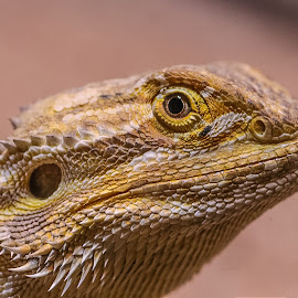 Lizard by Christian Wilen - Animals Amphibians ( cirre1 )