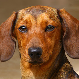 Selene, All Grown Up Now! by Chrissie Barrow - Animals - Dogs Portraits ( smooth, mouth, young, portrait, eyes, red, female, pet, dachshund (miniature smooth), ears, fur, dog, nose, tan )