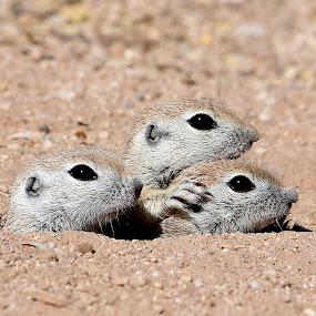 Ground Squirrel Babies by Dawn Hoehn Hagler - Animals Other Mammals ( round-tailed ground squirrel, park, arthur pack park, arizona, tucson, rodent, ground squirrel, squirrel,  )