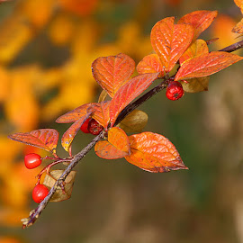 Glorious Colour by Chrissie Barrow - Nature Up Close Leaves & Grasses ( orange, red, nature, autumn, brown, leaves, bokeh, closeup, berries )