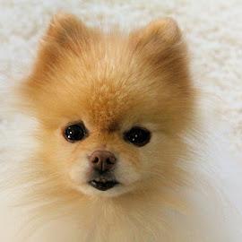 Taz by Lena Arkell - Animals - Dogs Portraits ( head, pomeranian, dog, toy breed, toy,  )