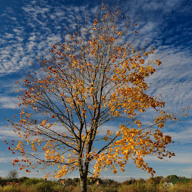 Fall colours by Irena Gedgaudiene - Nature Up Close Trees & Bushes ( clouds, sky, tree, fall, leaves, maple )