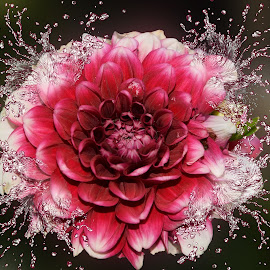 nice dahlia by LADOCKi Elvira - Digital Art Things ( flowers, garden )