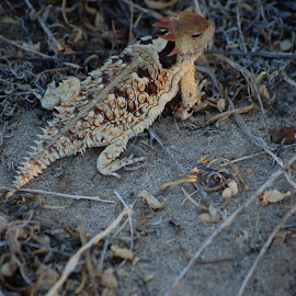 by Savannah Eubanks - Animals Reptiles ( lizard, horned toad )