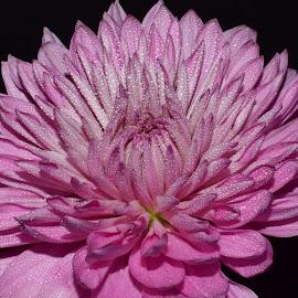 Mum In Pink by Millieanne T - Flowers Single Flower