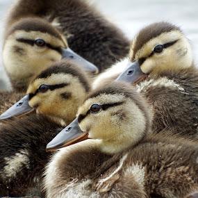 ducklings by Craig Skinner - Uncategorized All Uncategorized (  )