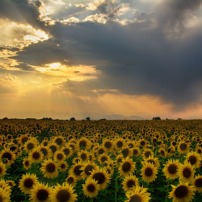 Stormy Sunset Sunflowers by Heather Diamond - Nature Up Close Gardens & Produce ( clouds, starburst, green, beautiful, colorado, sunflower, scenic, yellow, beauty, glow, drama, sun, rays, field, red, sunset, sunshine, scenery, natural, flower )