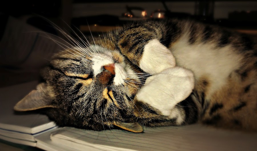 My cat Baba by Jackson Visser - Animals - Cats Kittens ( cat, kitten, sleeping )
