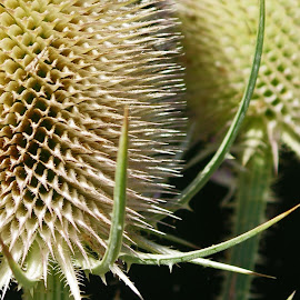 Teasles by Ingrid Anderson-Riley - Nature Up Close Other Natural Objects