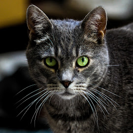 by Forrest Covin - Animals - Cats Portraits