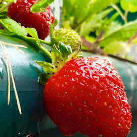 Nummy strawberries. by Janet Young- Abeyta - Nature Up Close Gardens & Produce