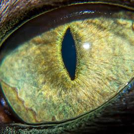 Cat eye by Gabi Todorean - Animals - Cats Portraits ( macro, macros, cats, macro photography, cat eyes, animals, eyes, macro shot )