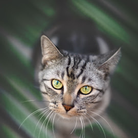 Green Whiskers by Lance Emerson - Animals - Cats Portraits ( cats, animals, cat, pet photography, cat eyes, lance emerson photography, green, san diego pet portraits, outdoor, pets, eyes )