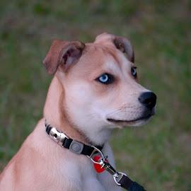 Winnie by Fraya Replinger - Animals - Dogs Puppies ( pet, blue eyes, puppy, dog )