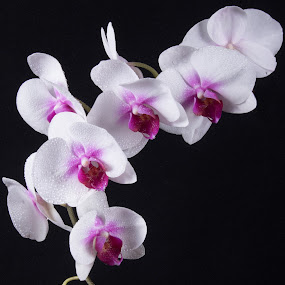 Orchid by Simon Hall - Flowers Flower Arangements (  )
