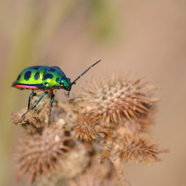 Indian Jewel Beetle by Rajkumar Shiwani - Animals Insects & Spiders