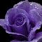 Rose009b4.jpg