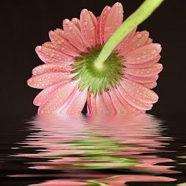 pink gerber by LADOCKi Elvira - Digital Art Things ( nature, flowers, garden )