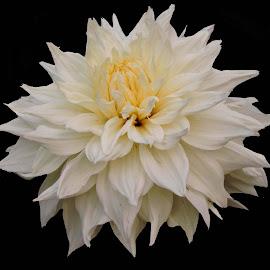 WHITE DAHLIA by SANGEETA MENA  - Flowers Single Flower