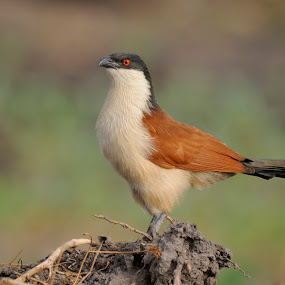 Senegal coucal by Fred van Maurik - Animals Birds ( vertebrates, wing, gambia, centropus senegalensis, wingspan, arabia, cuckoo, ricefields, wildlife, insects, cuculiformes, birds, savannah, bird, senegal coucal, nature, wings, bush, africa, caterpillars, pirang )