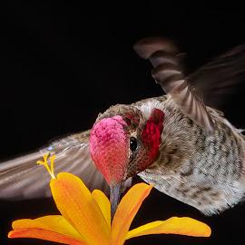 Summertime Sipping by Briand Sanderson - Animals Birds ( black background, bird, adult male, orange flower, crocosmia, hummingbird, male, adult, anna's hummingbird, flower, animal )