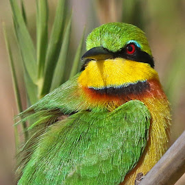 Little Bee-eater by Anthony Goldman - Animals Birds ( bird, wild, nature, colorful, south africa, wildlife, londolozi, bee-eater )