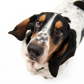 Basset Hound Portrait by Jude Stewart - Animals - Dogs Portraits ( studio, basset hound, hound, portrait, dog )
