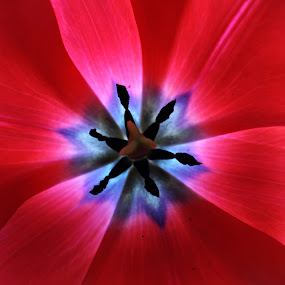 red and blue by Adriana Popescu - Abstract Macro ( macro, red, blue, tulip, spring,  )