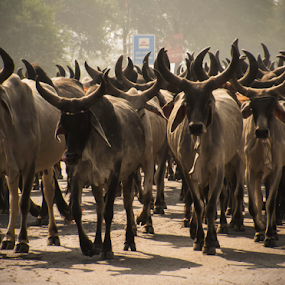 Herds of cows by Kallol Bhattacharjee - Animals Other Mammals ( contrast, canon, winter, herds, morning, light, sx50hs )