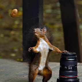 Lens or nut by Gabriel Catalin - Animals Other Mammals ( squirrels, autumn, nut, fun, lens,  )