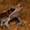 Bicoloured Frog