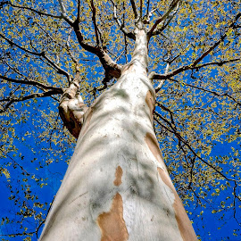 Tall and Straight by Barbara Brock - Nature Up Close Trees & Bushes ( looking up the tree, big tree, tall tree, white tree trunk )