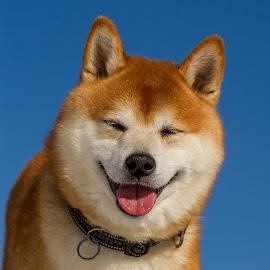 Happy face by Lasse Svendsen - Animals - Dogs Portraits ( lødingen, shiba, dog, norway )