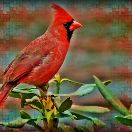 Cardinal by Diane Merz - Digital Art Animals