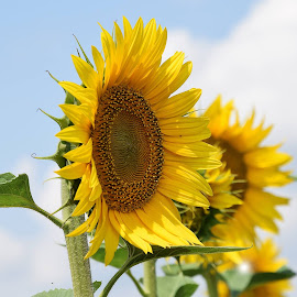 nice sunflowers by LADOCKi Elvira - Flowers Flowers in the Wild