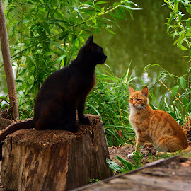 by Angela Codrina Andries Bocse - Animals - Cats Playing