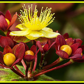 St. John's Wort. by Simon Page - Flowers Single Flower