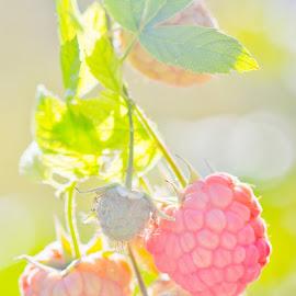 Raspberries by Nicole Collins - Food & Drink Fruits & Vegetables