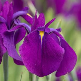 Water Iris I by Judy Florio - Flowers Flower Gardens ( macro, flowers, irises, yellow, purple, water irises,  )