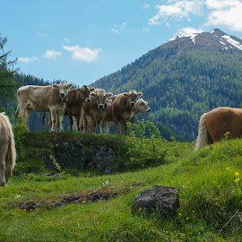 The cow are the boss  by Filipe Coelho - Animals Horses ( swiss, mountains, tree, green, cow, day, scuol,  )