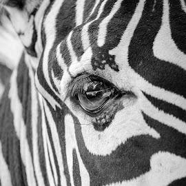 The Eye in Camouflage by Adhi Rachdian - Animals Other Mammals ( zebra, stripe, eye, camouflage )