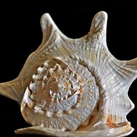 Conch 5 by Pradeep Kumar - Artistic Objects Still Life