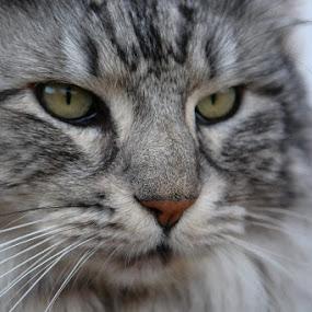 by Ros Dando - Animals - Cats Portraits