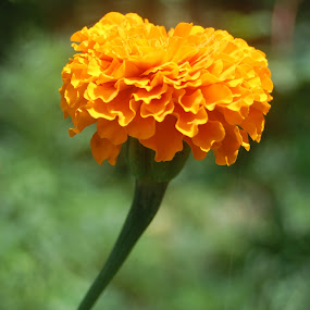 Mari Gold by Sagar Pangole - Nature Up Close Flowers - 2011-2013 ( marigold closeup, mari gold, close up photos, marigold, closeup )