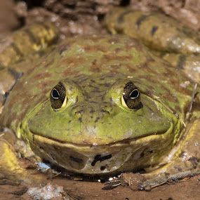 American Bullfrog by Susan and Arwinder Nagi - Animals Amphibians ( nagiphotography, bullfrogs, water life, new mexico wildlife, western animals, american bullfrog, shooting nomads, amphibians of north america, frog, frogs of north america, animals, dharmiclight photogrpahy, wildlife, amphibians, frogs of new mexico,  )
